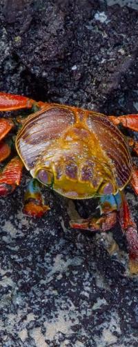Big Red Crab