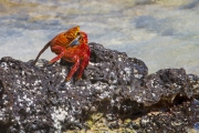 Crab On the Rock