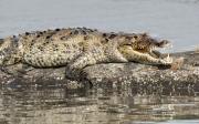 crocodile copy