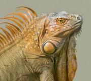 iguana copy 2