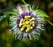 Passion Flower - Galapagos