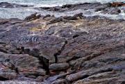 Large_Iguanas_on_the_Rocks